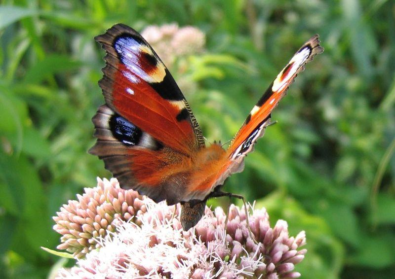 Belevenissen van een tuinkabouter beesjes insect vlinder - Images de papillon ...